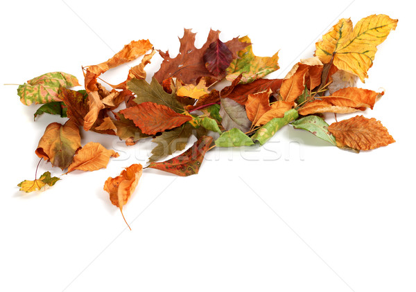 Autumn dried leafs isolated on white background Stock photo © BSANI