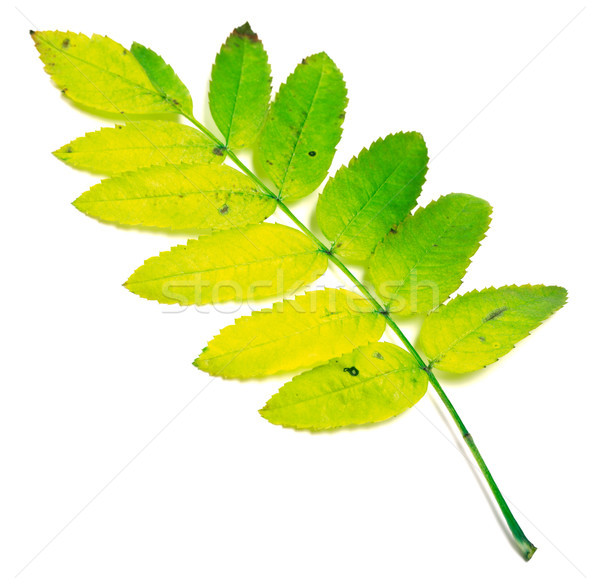 Yellowed rowan leaves Stock photo © BSANI