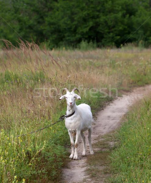 White goat on meadow Stock photo © BSANI