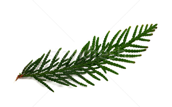 Thuja branch isolated on white background Stock photo © BSANI
