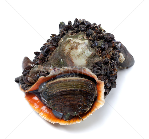 Veined rapa whelk overgrown with small mussels Stock photo © BSANI