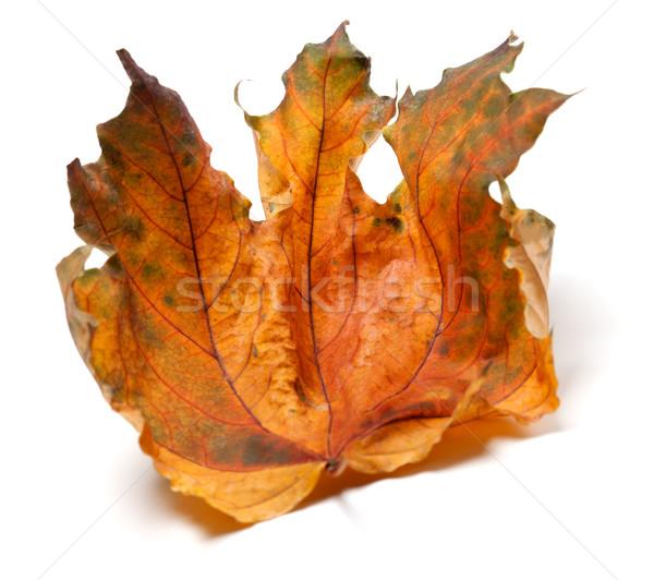 Asciugare autunno foglia d'acero bianco isolato messa a fuoco selettiva Foto d'archivio © BSANI