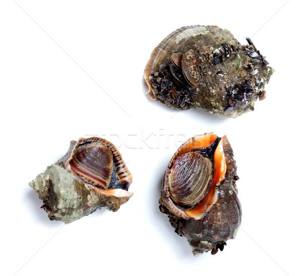 Three veined rapa whelk isolated on white background Stock photo © BSANI