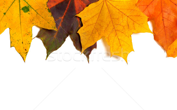 Autumn multi colored maple-leafs Stock photo © BSANI