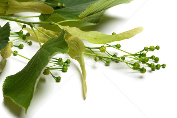 Green tilia sprig before blossom Stock photo © BSANI