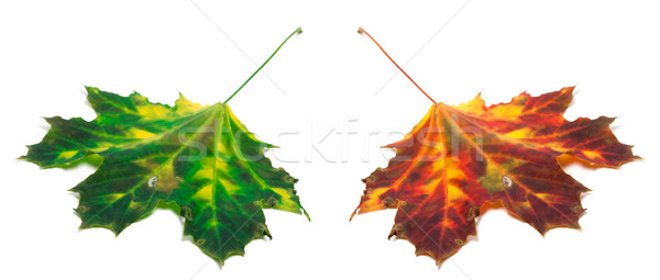 Green and red yellowed maple-leaf  Stock photo © BSANI