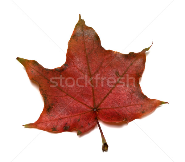 Dark red autumn maple leaf Stock photo © BSANI