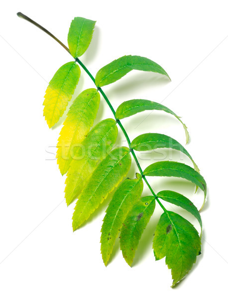 Multicolor rowan leaf Stock photo © BSANI