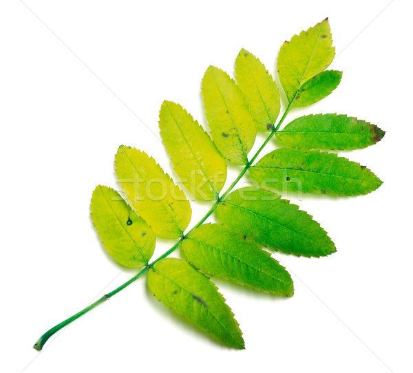 Rowan leaves on white Stock photo © BSANI
