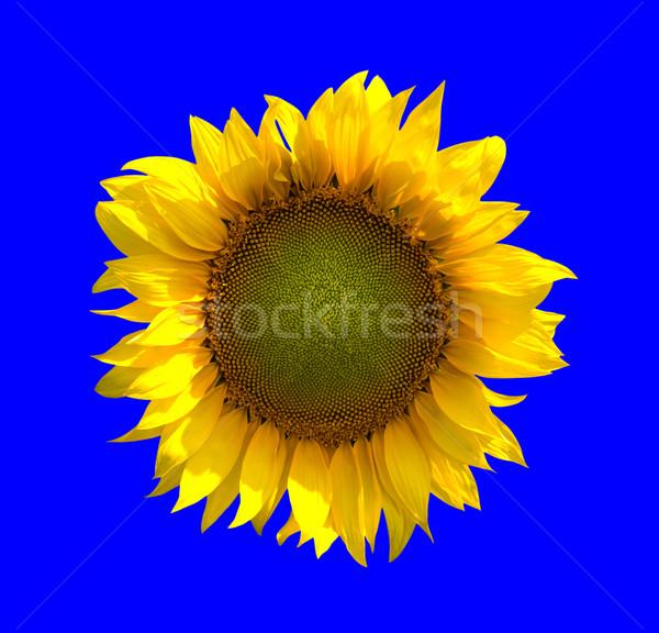 Sunflower on blue background Stock photo © BSANI
