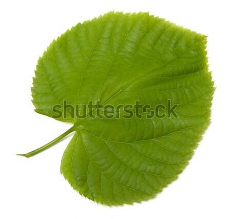 Green linden-tree leafs Stock photo © BSANI