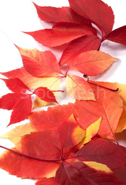 Najaar Virginia bladeren geïsoleerd witte achtergrond Stockfoto © BSANI
