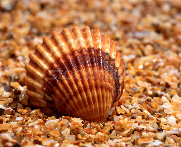 Seashell on sand in sun day Stock photo © BSANI