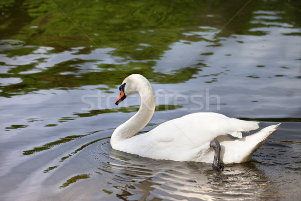 Mute swan on water surface Stock photo © BSANI