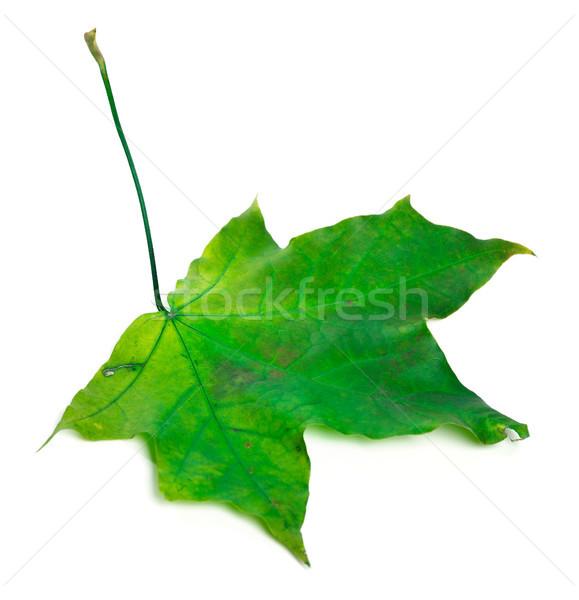 Vert feuille d'érable isolé blanche arbre automne Photo stock © BSANI