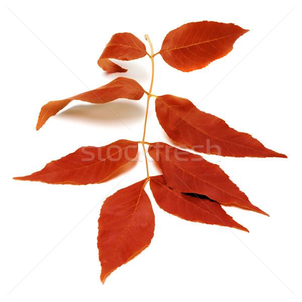 Vermelho folha branco isolado natureza Foto stock © BSANI