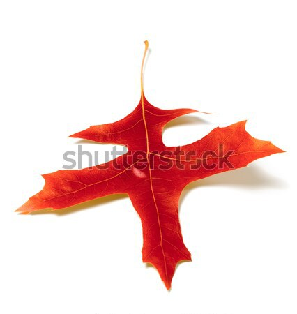 Red leaf of oak on white background Stock photo © BSANI