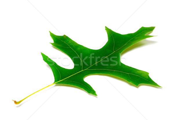 Green leaf of oak Stock photo © BSANI