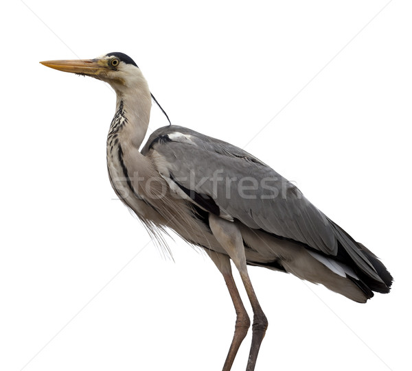 Grey heron (Ardea cinerea) Stock photo © BSANI