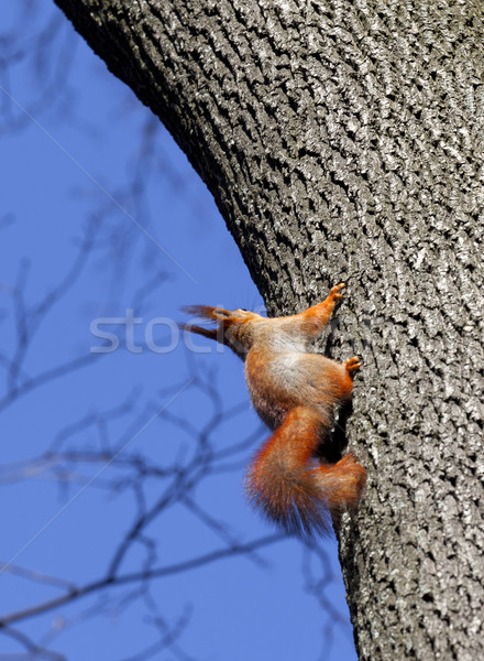Red squirrels on tree in forest Stock photo © BSANI