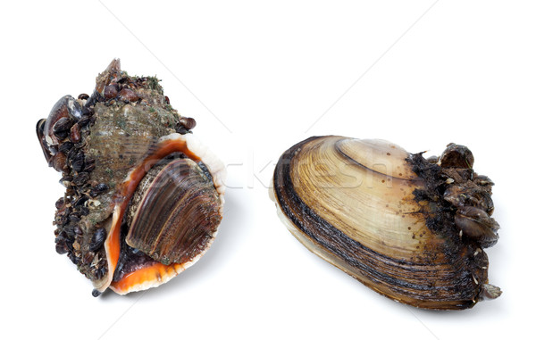 Veined rapa whelk and river mussels (anodonta) Stock photo © BSANI