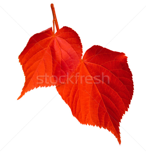 Red linden-tree leafs on white background Stock photo © BSANI