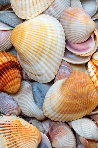 Shells of anadara at sun summer day Stock photo © BSANI