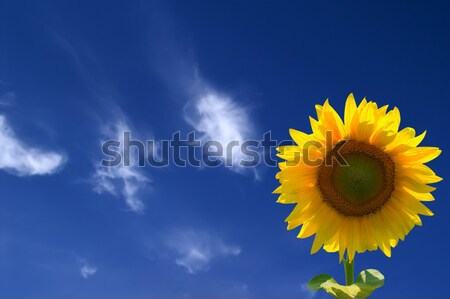 Sunflower against  blue sky with clouds Stock photo © BSANI