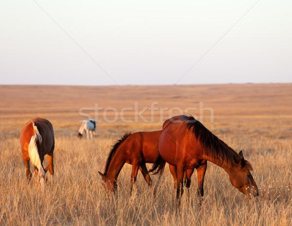 Three horses grazing in pasture Stock photo © BSANI