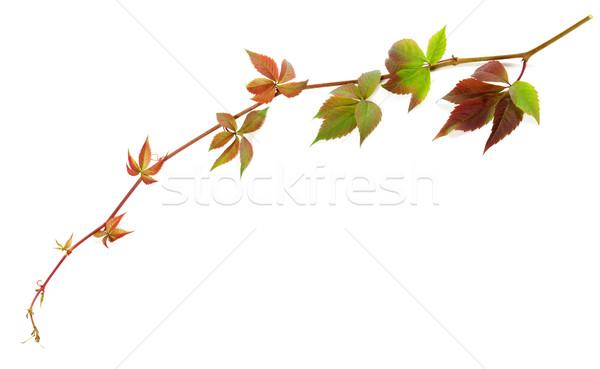 Takje druiven bladeren loof geïsoleerd witte Stockfoto © BSANI