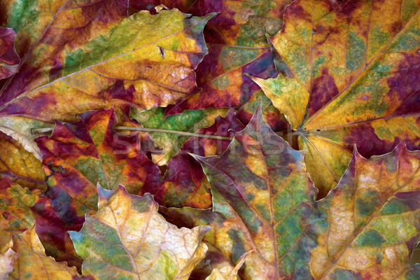 Autumn dry maple-leafs background Stock photo © BSANI