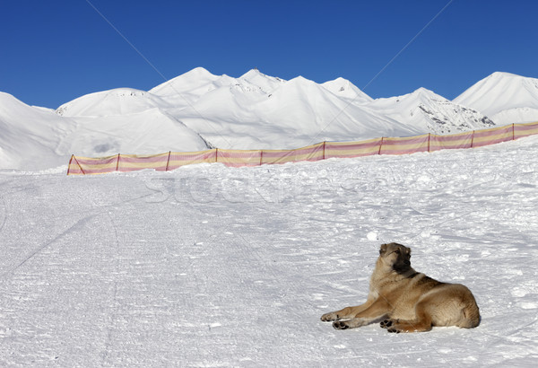 Dog resting on snow at nice sun day Stock photo © BSANI