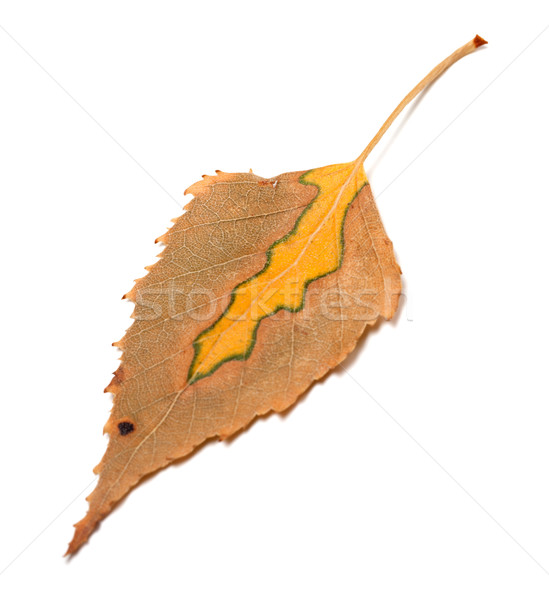 Dry multicolor autumn leaf of birch Stock photo © BSANI