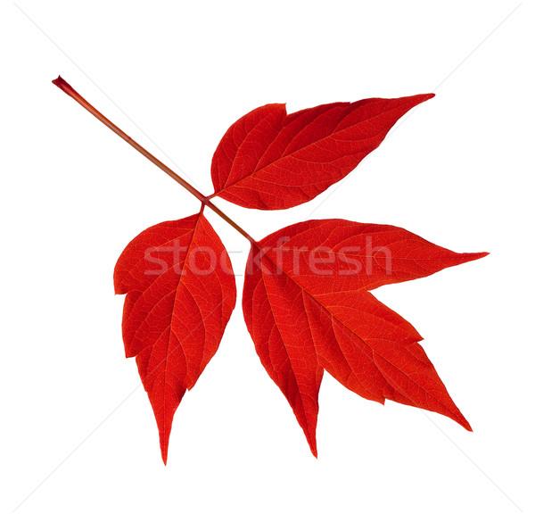 Red acer negundo leaf isolated on white Stock photo © BSANI