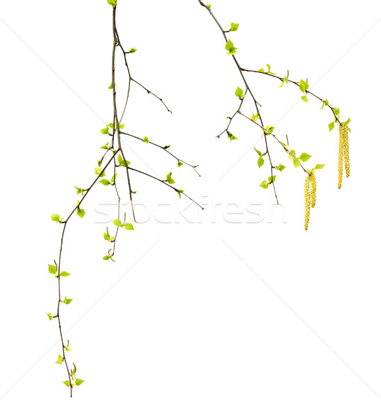 Spring twigs of birch with young green leaves and catkins Stock photo © BSANI