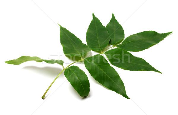 Zöld levél izolált fehér természet háttér Stock fotó © BSANI