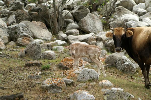 Inek taş genç sığırlar açık havada Stok fotoğraf © BSANI