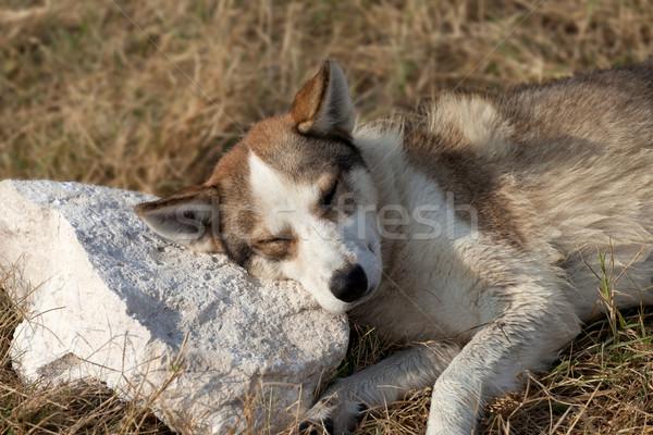 Hajléktalan kutya kő párna fű nyár Stock fotó © BSANI