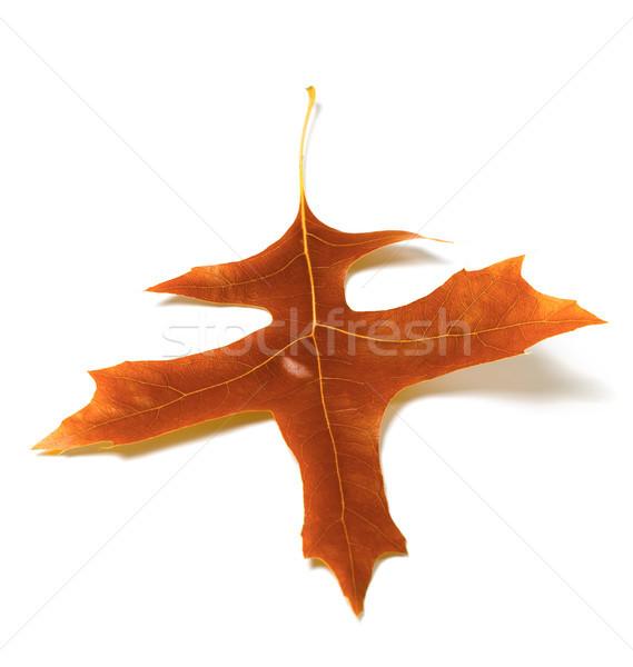 Autumn oak leaf Stock photo © BSANI