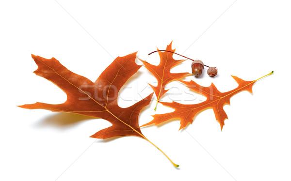 Autunno rovere foglie albero foresta natura Foto d'archivio © BSANI