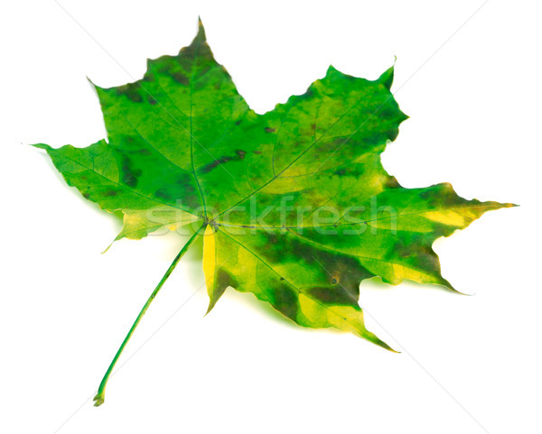 Green yellowed maple leaf on white Stock photo © BSANI