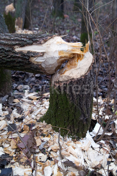 Forest after the beaver's job Stock photo © BSANI