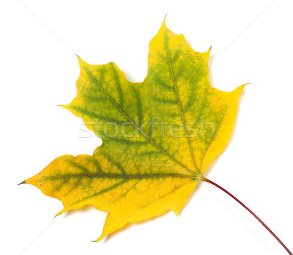 Yellowed autumn maple leaf  Stock photo © BSANI