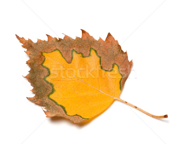 Multicolor autumn leaf of birch on white background Stock photo © BSANI