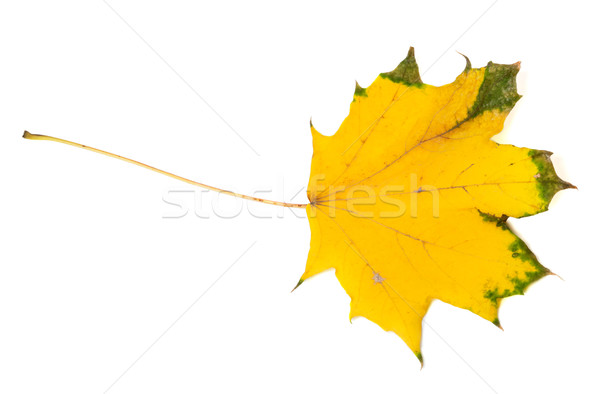 Yellowed autumn maple leaf. Top view. Stock photo © BSANI