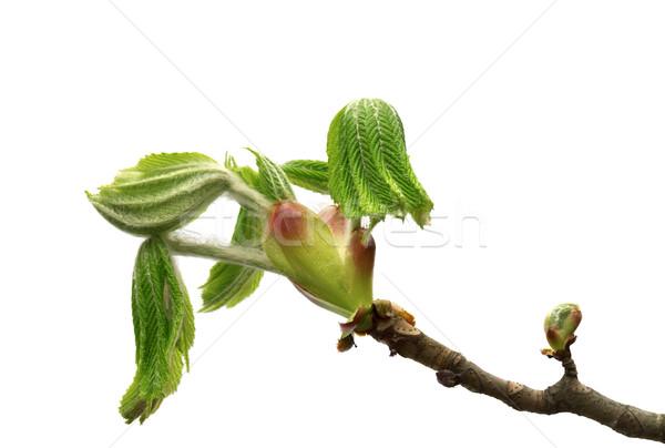 ストックフォト: 春 · 支店 · 馬 · 栗 · ツリー · 小さな