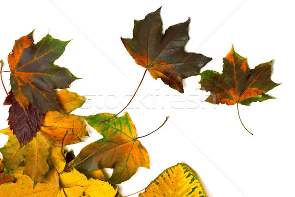 Autumn multi colored maple leaves  Stock photo © BSANI