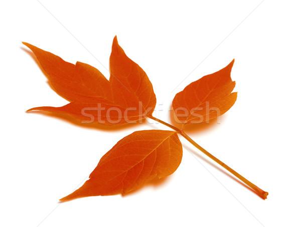 赤 秋 葉 孤立した 白 森林 ストックフォト © BSANI