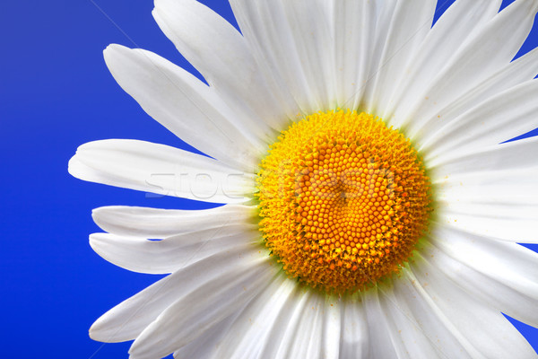Stock photo: Chamomile on blue background. Close-up view