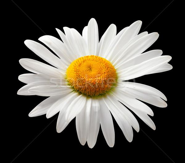 Rumianek odizolowany czarno białe czarny kwiat liści Zdjęcia stock © BSANI